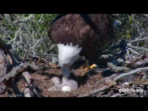 FRASER POINT EAGLES 3 13 19 4 07PM BOTH EATING.jpg