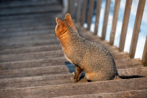 20190316_Gray_fox_on_stairs.jpg