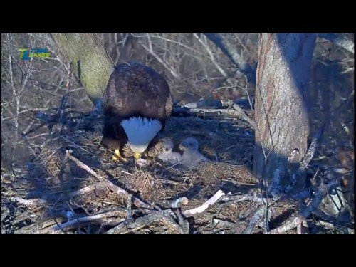 DALE HOLLOW EAGLES 3 17 19 7 03PM FEEDING.jpg