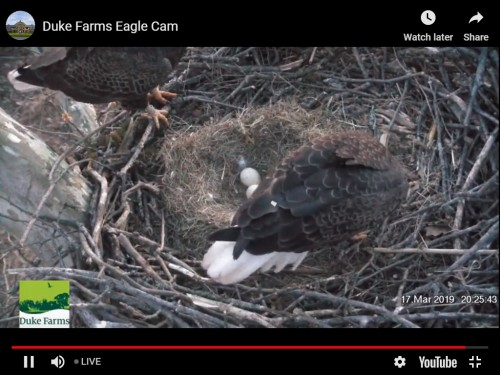 DUKE FARM EAGLES 3 17 19 REWIND TWO EGGS.jpg