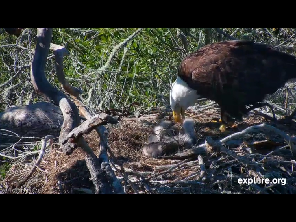 FRASER POINT EAGLES 3 17 19 6 58PM FEEDING.jpg