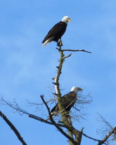 Wallace Dr. eagles on Sluggett Rd. 29 Mar. 2019.JPG