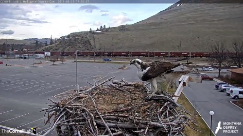 hellgate osprey is it louis with big fish 5 36 april 5.jpg