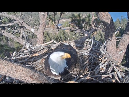 BIG BEAR EAGLES 4 6 19 8 34PM INCUBATING.jpg