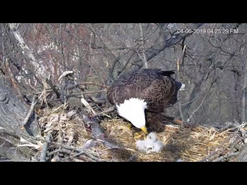 HANOVER EAGLES 4 6 19 4 27PM FEEDING 2 BOBBLES.jpg