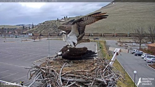 hellgate osprey iris arrives with louis on her tail lol an attempt 5 05 April 6 .jpg