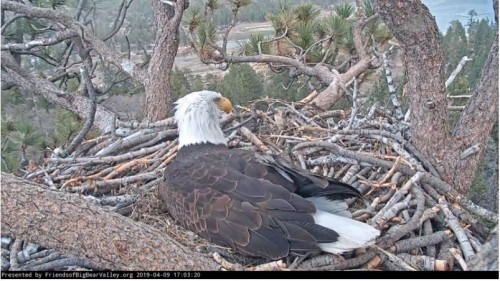 5.03 Mrs BB still on duty on the windy nest.JPG