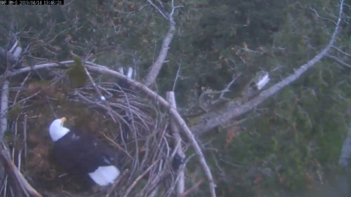 hm dad in nest 7 46 pm april 14.jpg