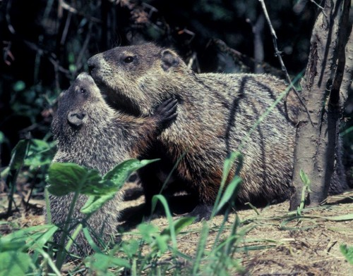 20190420_Woodchuck_baby_with_mom.jpg