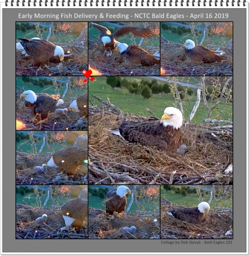 A Collage April 16 2019 Early Morning Fish Delivery and Feeding NCTC Bald Eagles.jpg