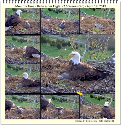A Collage Bella & her Eaglet 2.5 Weeks Old April 18 2019.jpg