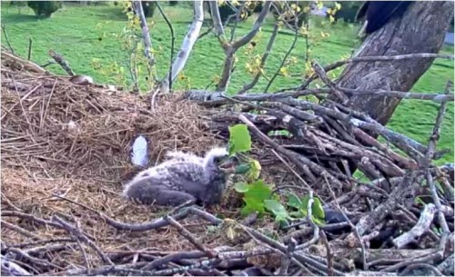 April 21 Chick plays with green branches 854 am.JPG