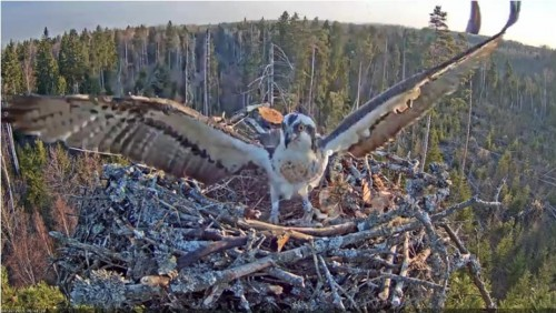22 Apr.  Ivo brings something to nest, mantles, mates with female_2019-04-22 15-15-30.jpg