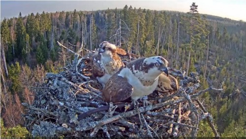 22 Apr.  Ivo brings something to nest, mantles, mates with female_2019-04-22 15-20-56.jpg