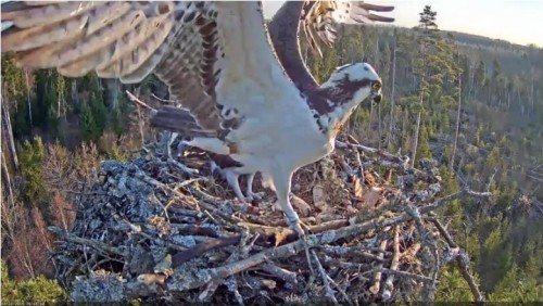 22 Apr.  Ivo brings something to nest, mantles, mates with female_2019-04-22 15-23-23.jpg