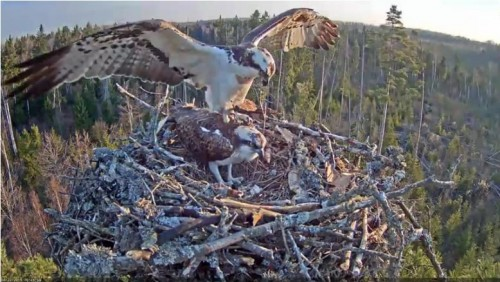 22 Apr.  Ivo brings something to nest, mantles, mates with female_2019-04-22 15-24-45.jpg