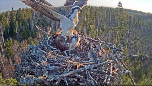 22 Apr.  Ivo brings something to nest, mantles, mates with female_2019-04-22 15-28-20.jpg