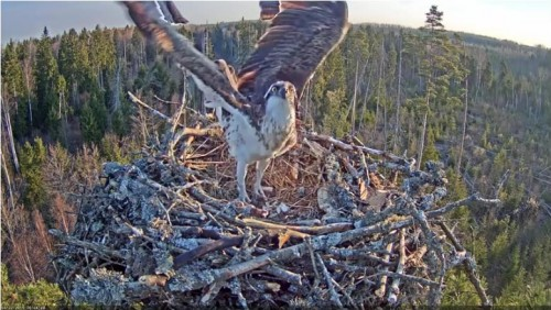 22 Apr.  Ivo brings something to nest, mantles, mates with female_2019-04-22 15-30-12.jpg
