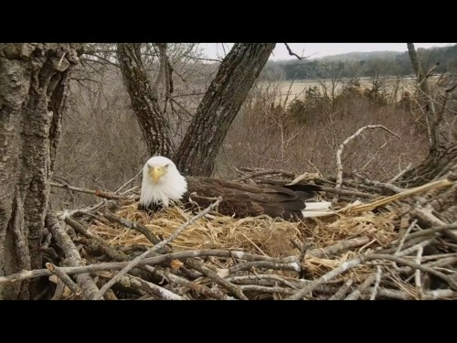 DECORAH EAGLES 3 24 19 6 48PM STILL INCUBATING.jpg