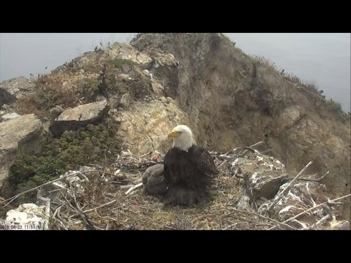 TWO HARBORS EAGLES 4 23 19 2 53PM MOM SHADE FOR LITTLE.jpg
