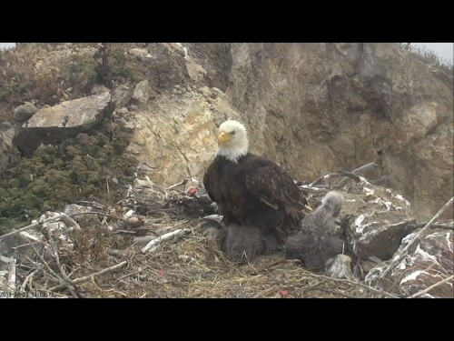 TWO HARBORS EAGLES 4 23 19 2 55PM MOM I'M A BIG KID NOW.jpg
