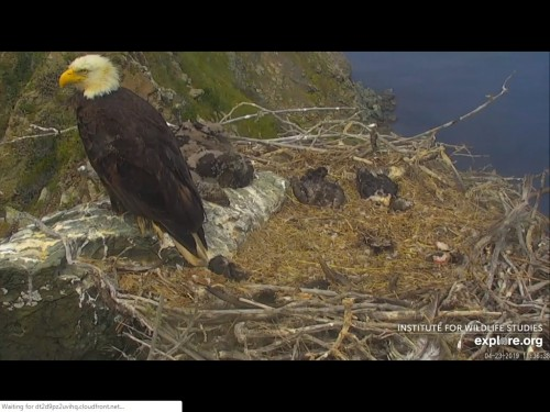 WEST END EAGLES 4 23 19 2 39PM RESTING ON ROCK AND IN NEST.jpg