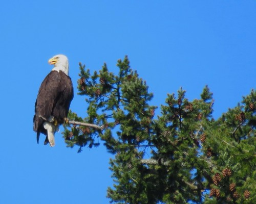Centennial Park Eagle 30 Apr. 2019.JPG