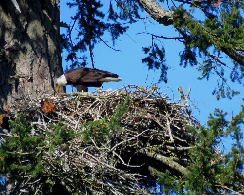 Centennial Park Eagles 30 Apr. 2019.JPG