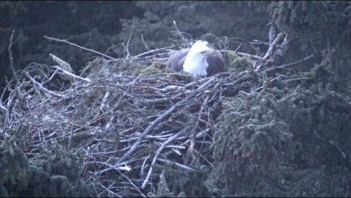 Glacier Gardens 04-30-19 908pm Mama settles in to incubate.JPG
