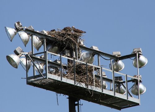 Uvic Osprey Nest 3 Aug. 2016.JPG
