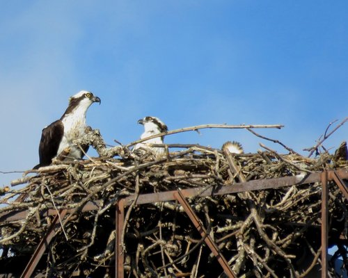 Royal Athletic Park Osprey 10 Aug. 2016.JPG