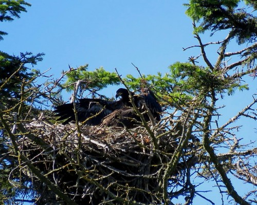 Beacon Hill Eaglets(1).JPG