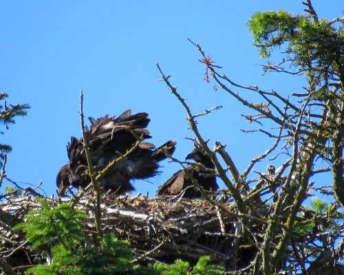 Beacon Hill Eaglets(2).JPG