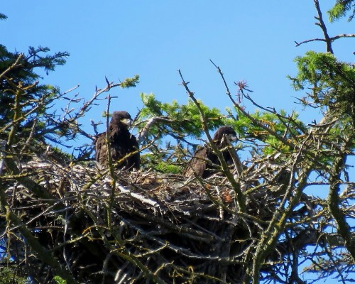Beacon Hill Eaglets(3).JPG