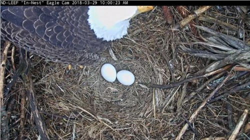 ND   peek at eggs   3-29-18.jpg