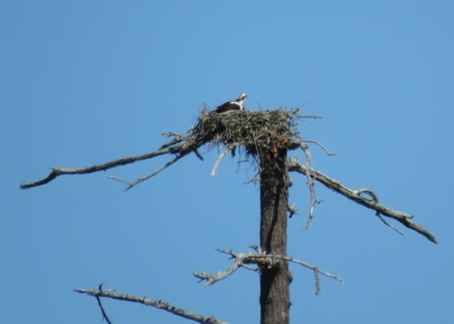 Wain Rd. Osprey Nest 3 July 2017.JPG