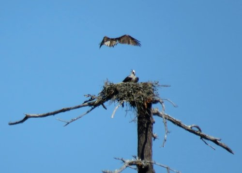 Wain Road Osprey Nest 3 July 2017.JPG