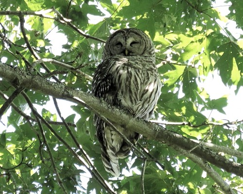 Barred Owl Parent(1).JPG