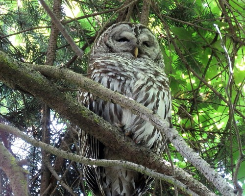 Barred Owl Parent(2).JPG