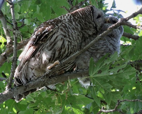 Barred Owl Mom & Owlet(1).JPG