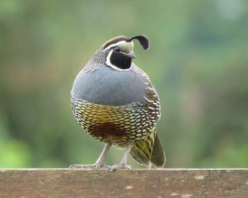 Male California Quail(1).JPG