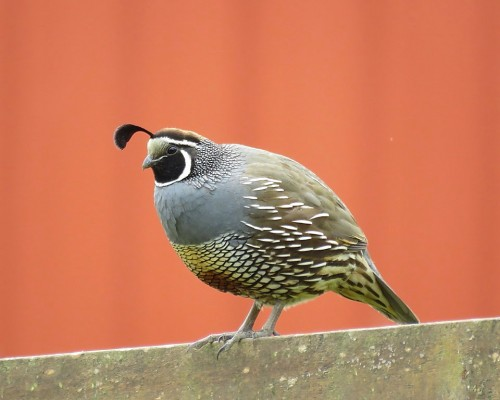 Male California Quail(3).JPG