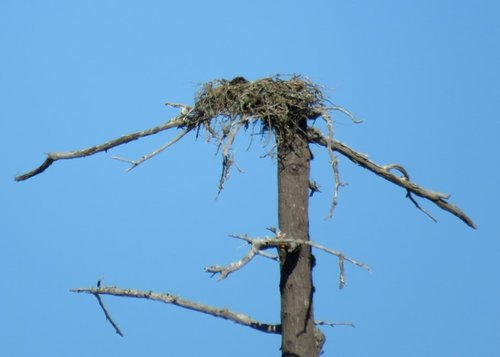 Wain Road Osprey Nest 31 July 2017.JPG