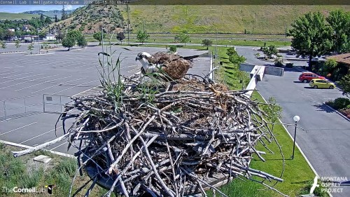 hellgate iris moved to center of nest looking around 10 49 june 15 .jpg