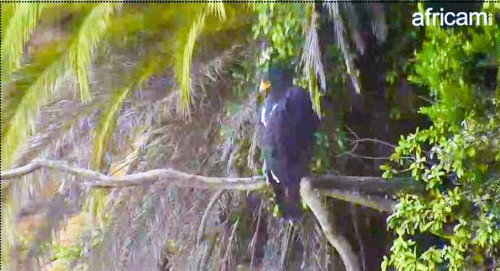 Black Eagle at Palm tree_edited_edited.jpg