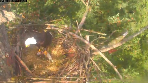 hm dad to nest fish 6 03 june 17 .jpg