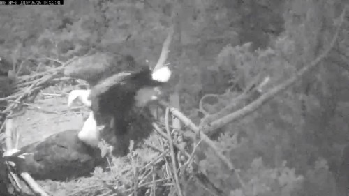 hm dad back to nest lady beaking lol 4 22 june 25 .jpg