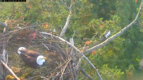 hm dad laying nest 6 18 june 25 .jpg