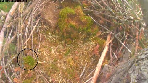 hm nest north cam 4 52 june 25 .jpg