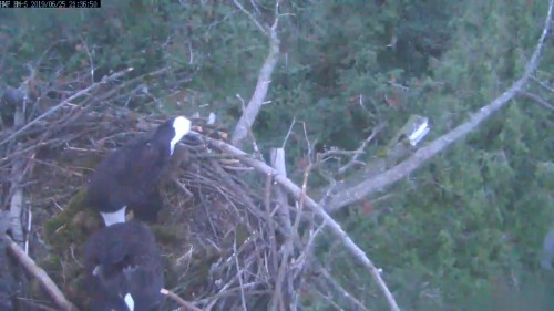 hm dad lady poking nest 9 36 june 25.jpg
